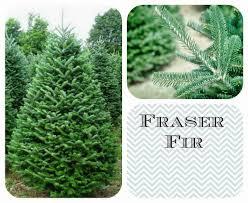 Frasier Christmas Tree Cutting by 11 Best Christmas Trees Images On Pinterest Bottlebrush