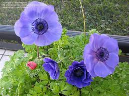 plantfiles pictures anemone grecian windflower poppy anemone