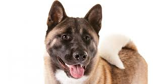 Do Akitas Shed Hair by Akita Dog Breed Information American Kennel Club
