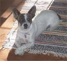 Do Jackie Bichon Shed by Cojack Dog Breed Information And Pictures