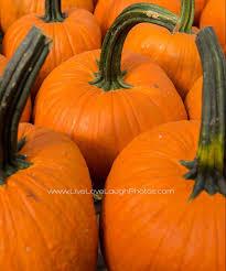 Pumpkin Picking Ridge Ny by Fall Secor Farms