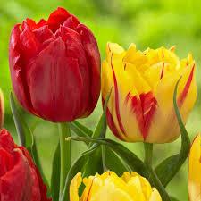 tulip bulbs for sale