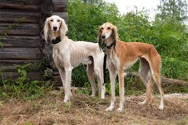 Do Italian Greyhounds Shed A Lot by Saluki Dog Breed Information Pictures Characteristics U0026 Facts
