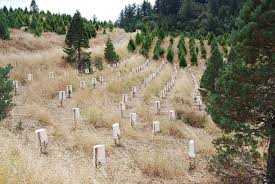 Santa Cruz Christmas Tree Farms by San Francisco And San Mateo County California Christmas Tree