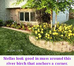 all about stella de oro daylily and lawns