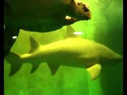 grand aquarium de malo vidéo grand aquarium de malo l anneau des requins