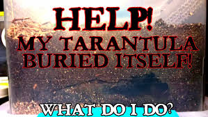 Pumpkin Patch Tarantula For Sale by Help U2026 My Tarantula Buried Itself Tom U0027s Big Spiders