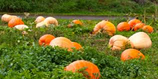 Southern Illinois Pumpkin Patches by Illinois Pumpkin Patches And Apples