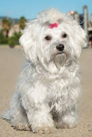 Cute Non Hypoallergenic Dogs by Small Hypoallergenic Dogs