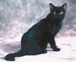 bombay cats r gif