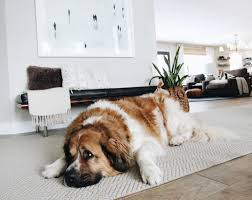 My Dog Stinks And Sheds A Lot by How We Keep Our Home Clean With A Big Hairy Dog Chris Loves Julia