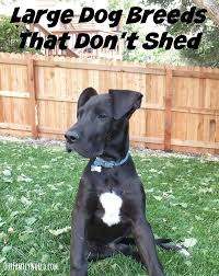 15 best dogs that dont shed images on pinterest dog breeds that