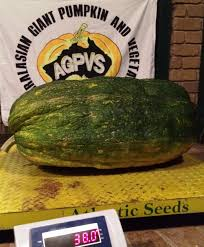 Atlantic Giant Pumpkin Record by Atlantic Seeds By The Pumpkin Lady Seeds
