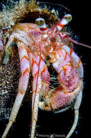 Do Hermit Crabs Shed Legs by 98 Best Hermit Crab Images On Pinterest Hermit Crabs Sea Shells