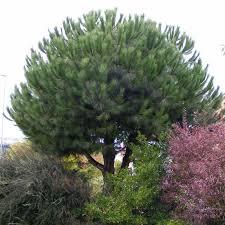 pinus pinea pin parasol pin pignon potager jardinage et plantes