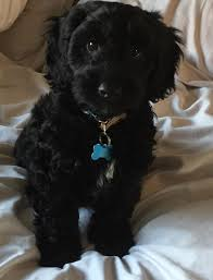 100 does maltipoo shed hair dog breeds that live the