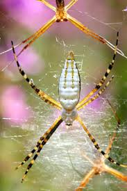 White-Backed Garden Spider | MDC Discover Nature R2rustys Chatter September 2017 Ladybugs Backyard And Beyond Birdingand Nature Golden Silk Orb Weaver Spider In Bug Eric Sunday Black Yellow Argiope Glass Beetle By Falk Bauer A Backyard Naturalistinsects Ghost Spiders Family Anyphnidae Spidersrule C2c_wiki_silvgarnspider_hrw8q0m1465244105jpg Aurantia Wikipedia Two Views Sonoran Images Elephant Tiger Skin Spiny Blackandyellow Garden Mdc Discover Power Animal For October Shaman Amy Katz
