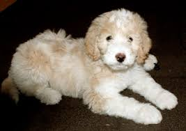 pyredoodle great pyrenees and poodle mix
