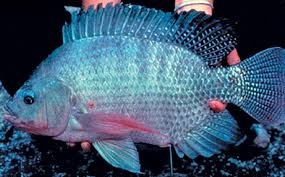 Mention The Words Nile Tilapia And Most Warm Water Aquaculturalists Get A Misty Eyed Wistful Look This Is Because Species Oreochromis Niloticus