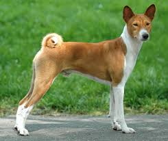 Best Hunting Dogs That Dont Shed by This Is What Our Dog Bama Looks Like It U0027s A Basenji Congo