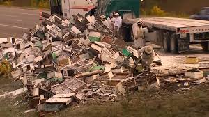 Semi Crash Spills Millions Of Bees On Washington Highway Arnia Hive Monitors On Twitter Apimondia2017 Tech Tour Bee Lorry Bee Busters Truck Moving Bees Is Not Easy Slide Ridge Notes Video Driver Cited In Truck Crash 6abccom Brown Cat Bakery Transport Meet The Biobee Youtube Why Are So Many Trucks Tipping Over The Awl 14 Million Spilled I5 Everybodys Been Stung Honeybees Travel 1000 Miles To Pollinate Nations Crops Bbj Today 2018 Hino 817 4x4 Flat Deck