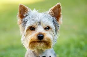 are yorkies hypoallergenic dogs dogvills