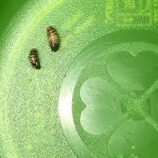 larven an der wand im schlafzimmer tiere käfer raupe