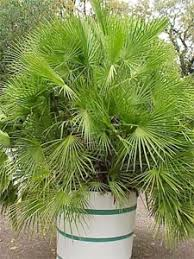 chamaerops humilis palmier nain
