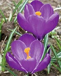 best 25 crocus plants ideas on bulbs planting