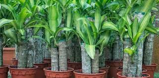 17 zimmerpflanzen für wenig licht pflegeleicht