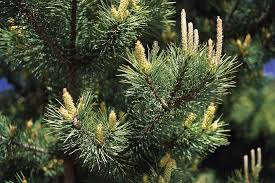 Canaan Fir Christmas Tree Needle Retention by The Best Evergreens For Christmas Trees