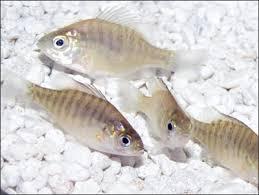 Osage Catfisheries Inc