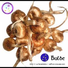 crocus sativus bulbs saffron bulbs for sale