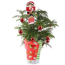 Costa Farms Live Norfolk Island Pine Indoor Christmas Tree Medium