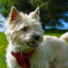 cairn terrier shed hair 59 best small breeds that stay small forever