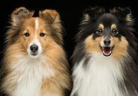 Sheltie Shedding Puppy Coat by Should You Get A Sheltie Shetland Sheepdog Trainthatpooch Com