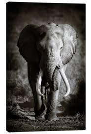 leinwandbild elefant mit großen stoßzähnen johan swanepoel