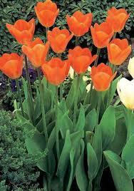 orange emperor bulbs tulips bulbs orange emperor buy tulips