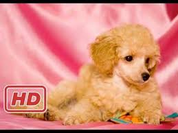 Top 10 Dogs That Dont Shed by Top 10 Dogs That Don U0027t Shed Dogs That Don U0027t Shed Pitbull Dog