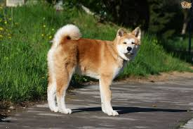 Do Shiba Dogs Shed by Akita Dog Breed Information Buying Advice Photos And Facts