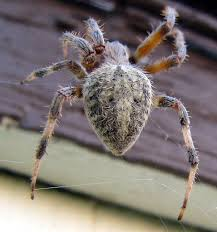 Are Barn Spiders Venomous Spiders At Spiderzrule The Best Site In World About Spiders 5 Venomous Found Colorado Outthere 109 And Webs Images On Pinterest Nature Ohios Biting Spidersrule The Barn Spider Pets Cute Docile Bug Eric Sunday Western Spotted Orbweaver Araneus Gemmoides Wikipedia Poisonous Georgia