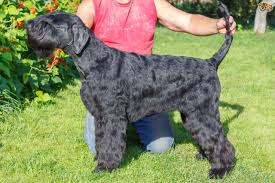Do Giant Schnauzers Shed by Giant Schnauzer Dog Breed Information Buying Advice Photos And