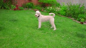 Playful Dog Running Away From Ball. White Labradoodle Running ... Playful Dog Running Away From Ball White Labradoodle Putting Greens Golf Just Like Grass Tour Backyard Green Cost Synlawn Itallations Reviews Testimonials Our Diy Kids Theater Emily A Clark Unique Architecturenice Little Bit Funky How To Make A Backyard Putting Green Wood Fence On Colorful House Stock Vector 606411272 Concrete Ideas Hgtvs Decorating Design Blog Hgtv Puttinggreenscom One Story Siding With Lawn View From The
