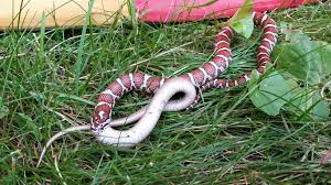 Found This In My Backyard Today. An Eastern Milk Snake Eating A ... Florida Brown Snake Backyard Snakes Is This A Copperhead Backyard Chickens Hornets Eating In My Rebrncom In Youtube Catcher Removes Mating Brown Snakes From Queensland Backyard Of Pennsylvania 21 Species 3 Them Venomous Pennlivecom The Lollipop Tree A Well Monster Lives My Slithering Nj Meet The 22 Snake Garden State Images Identify North Carolina Wsoctv Cooldesign Architecturenice Big Page 6 Talk Villages
