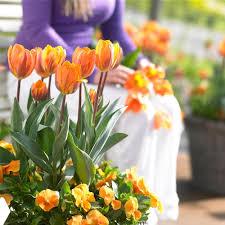 tulip princess irene longfield gardens