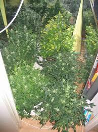 fin de floraison cannabis exterieur mr green culture cannabis
