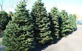 Nordmann Fir Christmas Trees Wholesale by Danish Exports Of Christmas Trees Exceeds 650 Million Kroner U2013 The