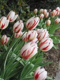 the anemone bulbs planting and lawn
