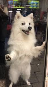 American Eskimo Shedding Problem by 25 Best Japanese Spitz Ideas On Pinterest American Eskimo Puppy