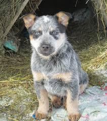 Blue Heeler Lab Mix Shedding by Blue Heeler Dogs Raised In Western Canada Saskatchewan